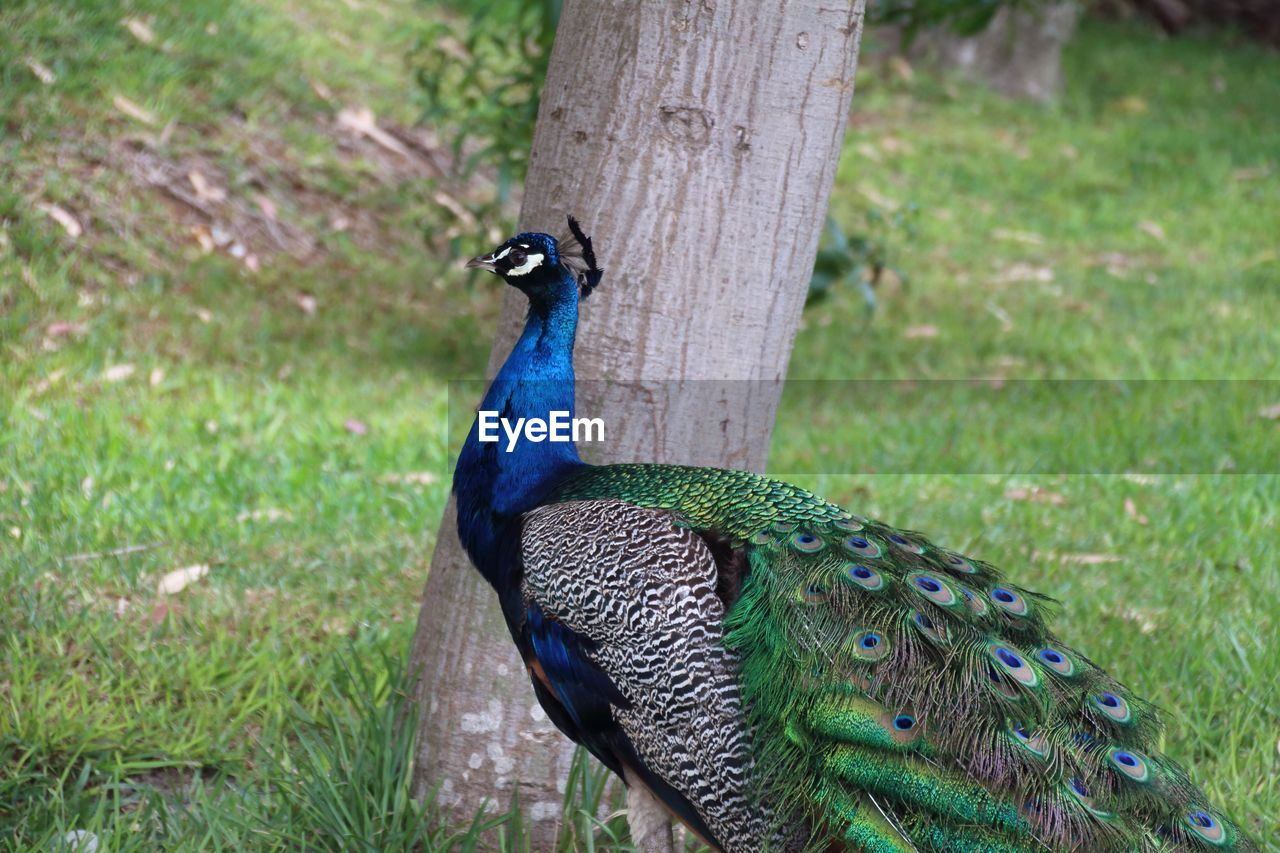 animal themes, bird, animal, one animal, animal wildlife, vertebrate, animals in the wild, peacock, day, plant, nature, land, focus on foreground, no people, grass, field, green color, trunk, outdoors, close-up, animal head