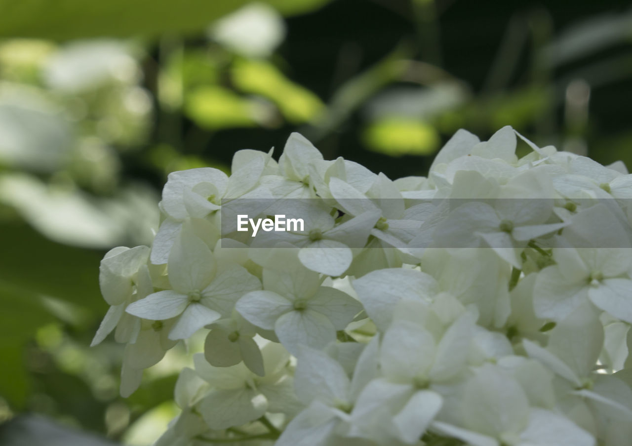 flower, beauty in nature, nature, petal, fragility, growth, freshness, plant, white color, flower head, close-up, outdoors, day, blooming, no people, focus on foreground, drop, green color, springtime, water