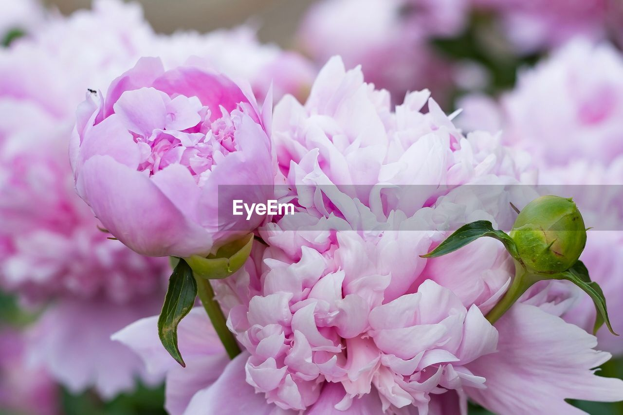 flower, pink color, flowering plant, freshness, beauty in nature, fragility, vulnerability, plant, petal, close-up, growth, inflorescence, flower head, nature, no people, day, focus on foreground, outdoors, botany, selective focus, springtime, bunch of flowers, bouquet, flower arrangement