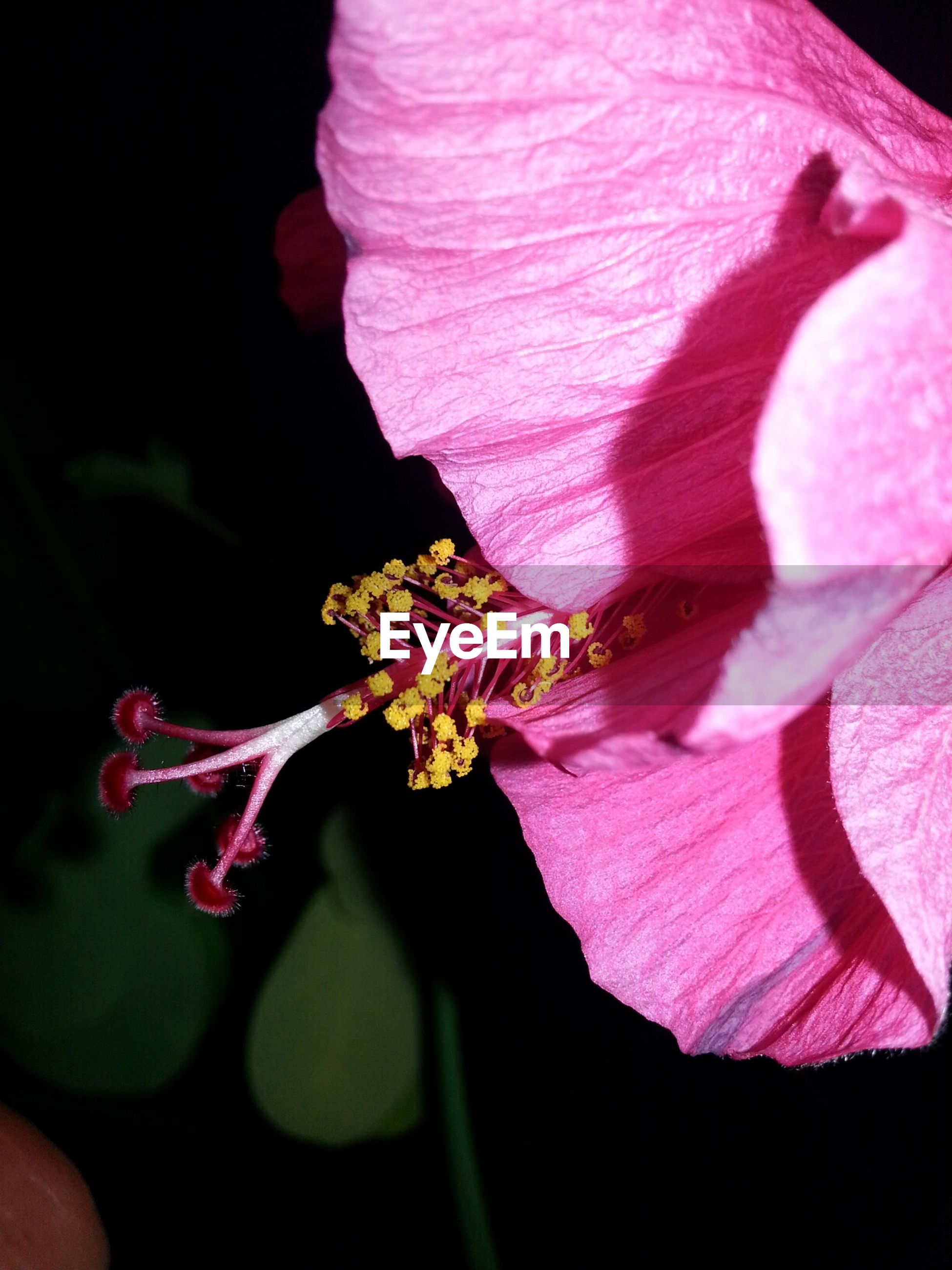Close-up of pink flower blooming at night