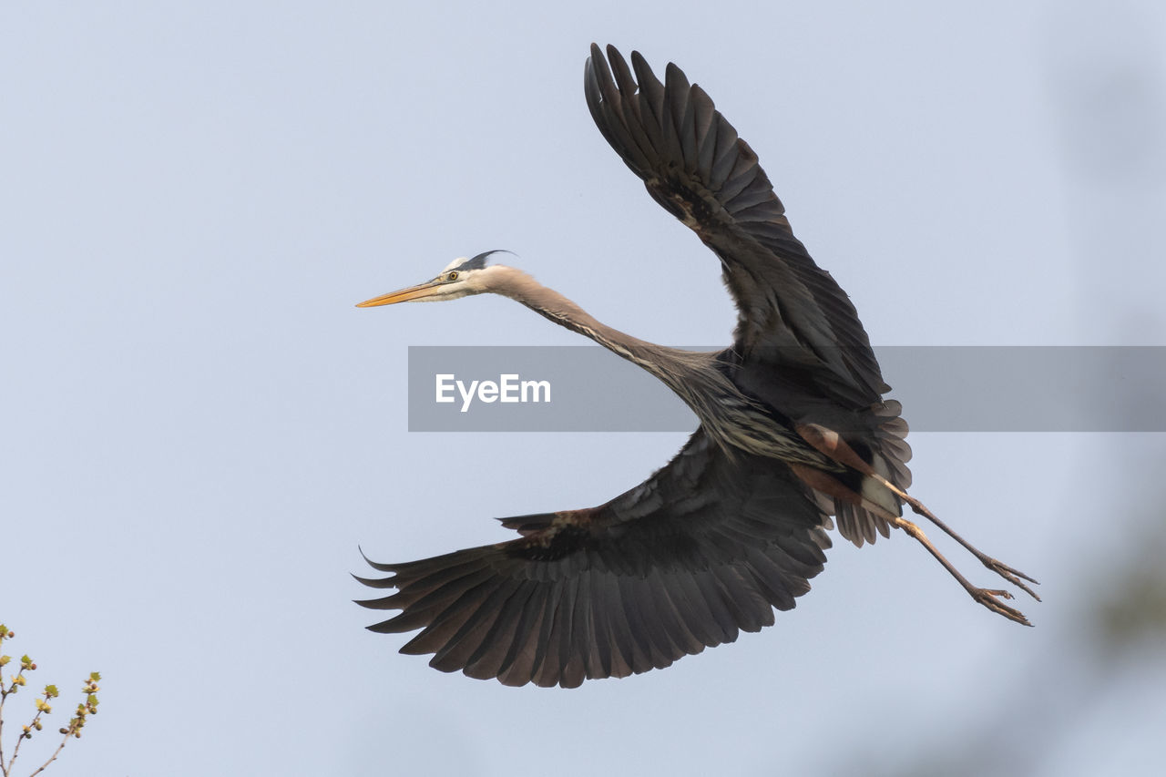 animals in the wild, bird, animal wildlife, animal themes, flying, spread wings, animal, vertebrate, sky, no people, motion, one animal, low angle view, mid-air, clear sky, nature, day, outdoors, heron, beauty in nature