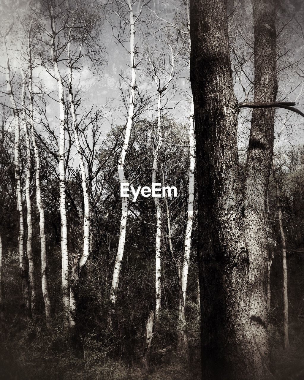 BARE TREE IN FOREST
