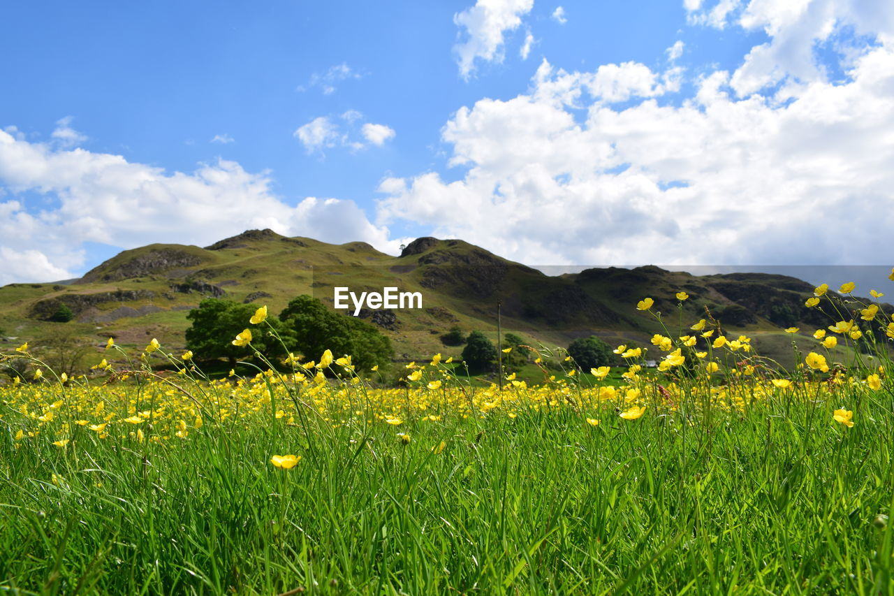 nature, field, yellow, sky, beauty in nature, landscape, flower, cloud - sky, tranquility, growth, mountain, grass, tranquil scene, scenics, day, no people, plant, outdoors, oilseed rape, freshness