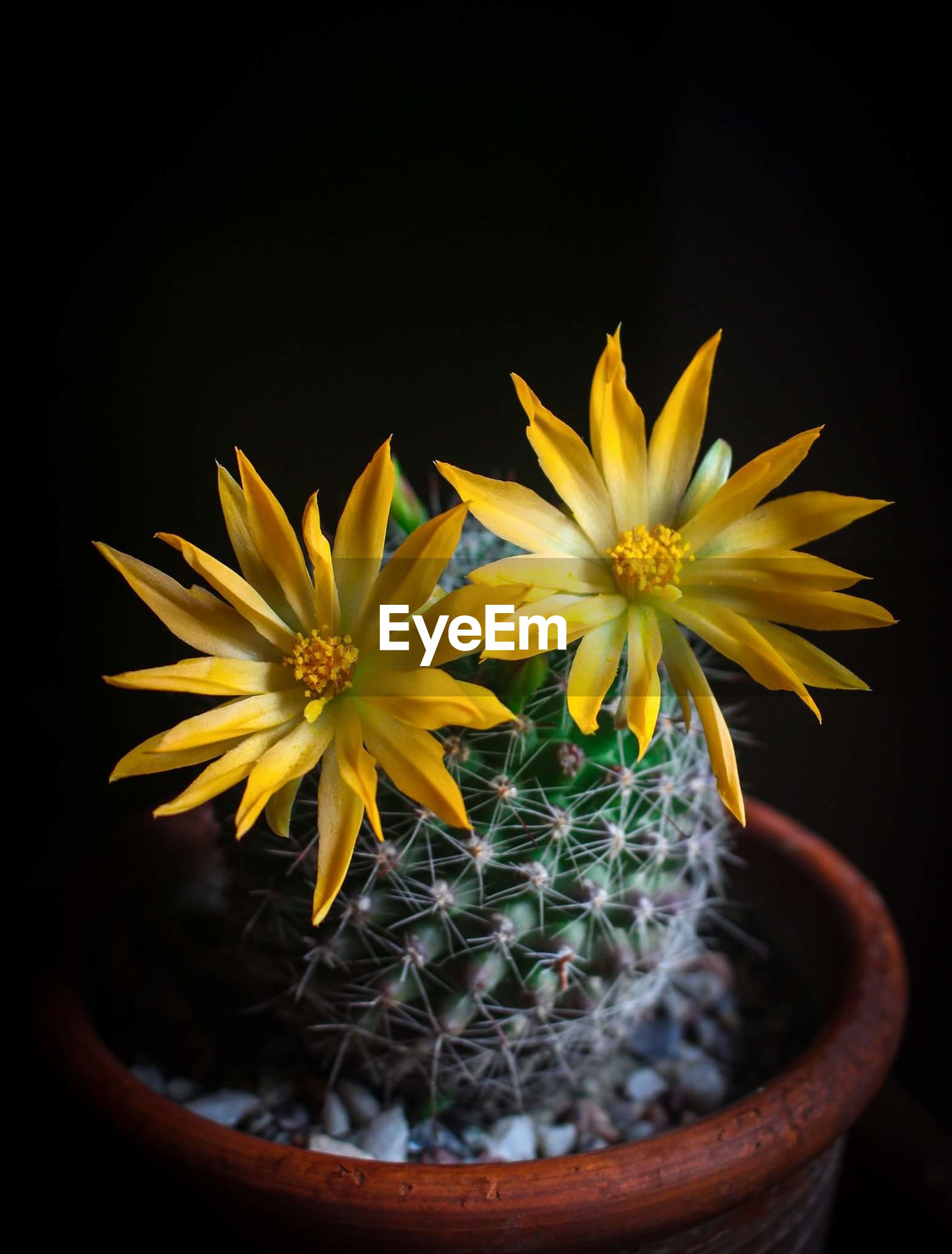 flower, nature, yellow, growth, plant, fragility, beauty in nature, freshness, petal, no people, flower head, potted plant, close-up, blooming, sunflower, black background, outdoors, day