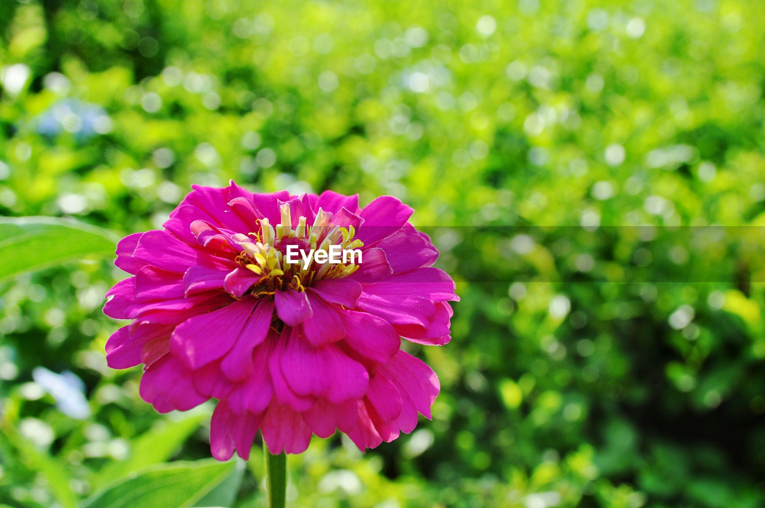 flower, freshness, petal, flower head, fragility, growth, beauty in nature, close-up, focus on foreground, blooming, nature, plant, pink color, single flower, in bloom, park - man made space, purple, pollen, day, outdoors