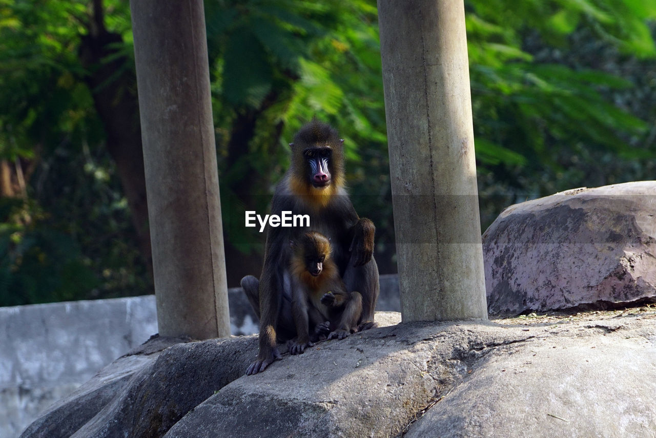 animal wildlife, solid, animals in the wild, primate, monkey, rock, animal themes, rock - object, animal, mammal, vertebrate, group of animals, nature, no people, sitting, day, tree, focus on foreground, outdoors, two animals, animal family