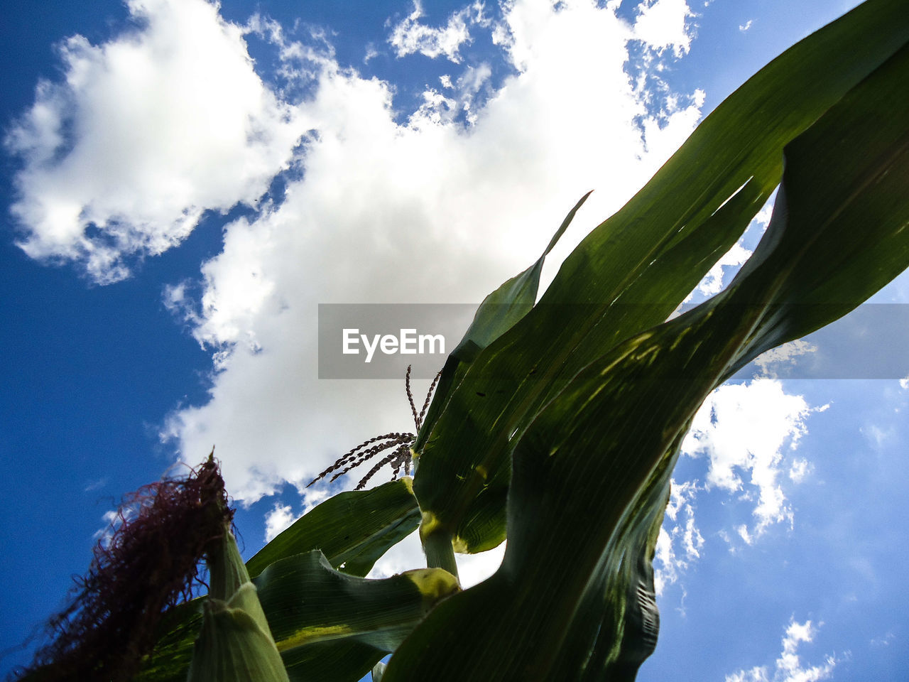 sky, cloud - sky, low angle view, plant, nature, day, green color, plant part, growth, leaf, tree, no people, sunlight, outdoors, beauty in nature, banana tree, banana, tranquility, close-up, leaves