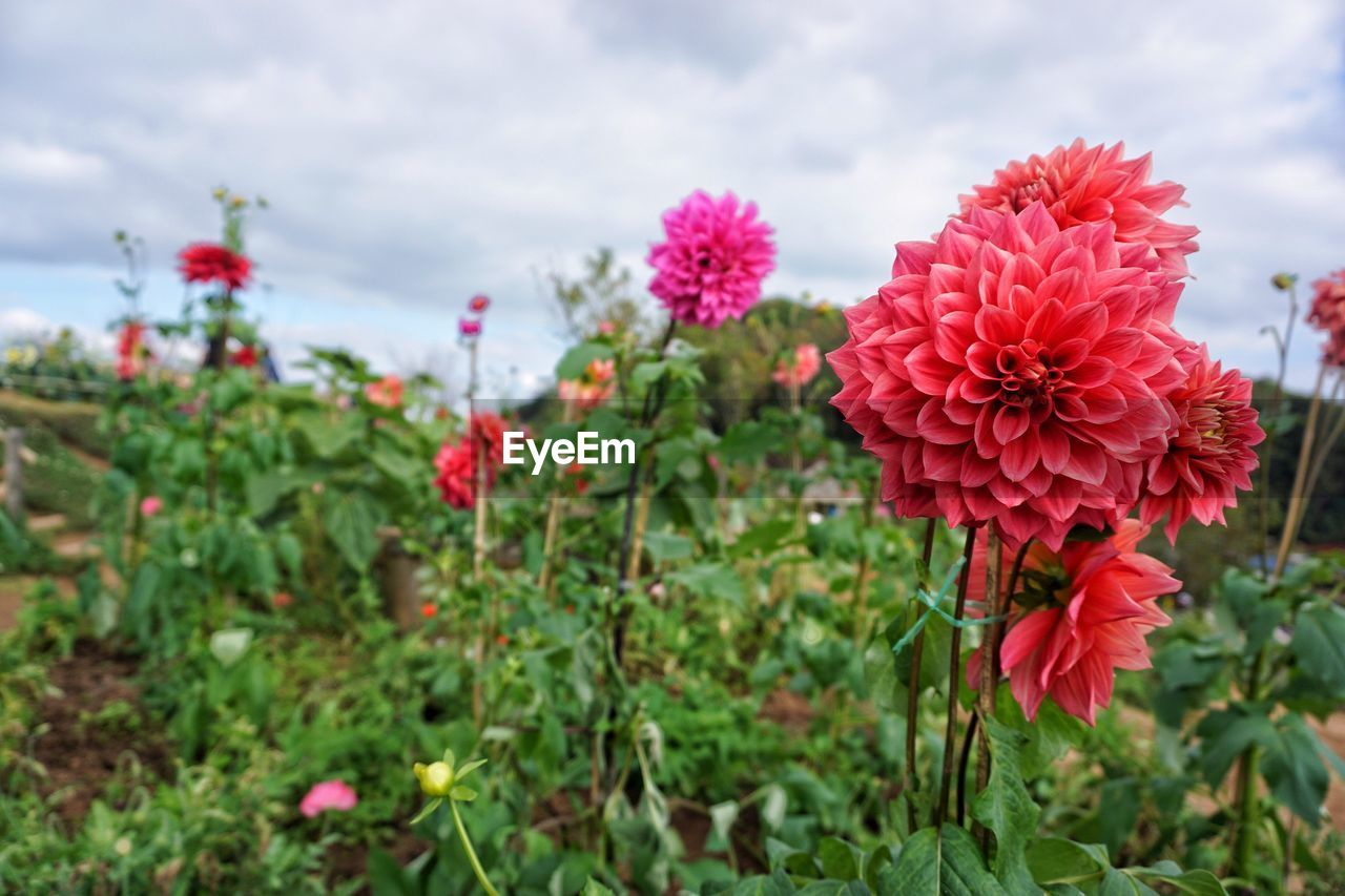 flower, growth, beauty in nature, fragility, nature, petal, blooming, flower head, plant, freshness, red, no people, day, focus on foreground, outdoors, zinnia, close-up, sky