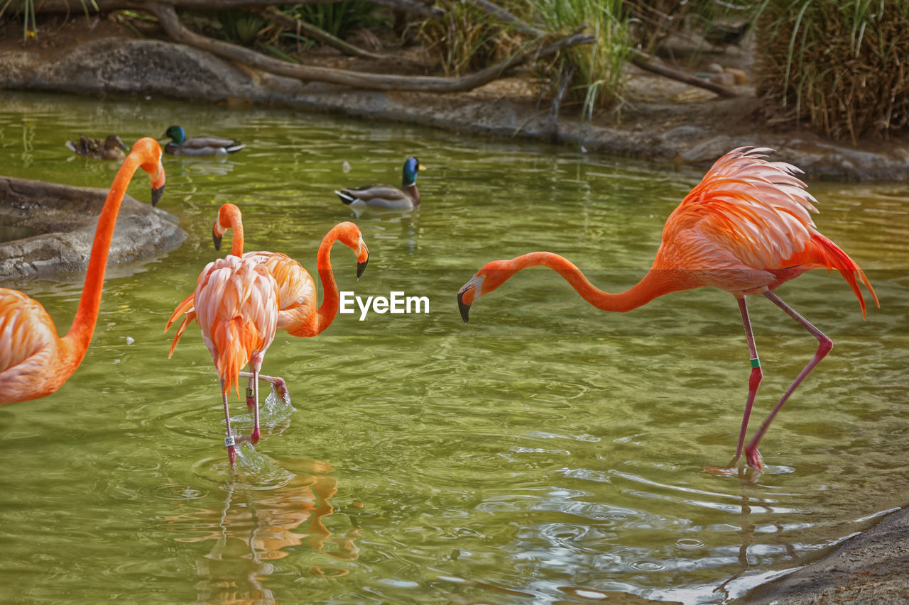 animals in the wild, water, bird, animal themes, animal, vertebrate, animal wildlife, group of animals, lake, flamingo, no people, day, nature, beauty in nature, waterfront, orange color, pink color, reflection, large group of animals, outdoors, animal neck, freshwater bird, flock of birds