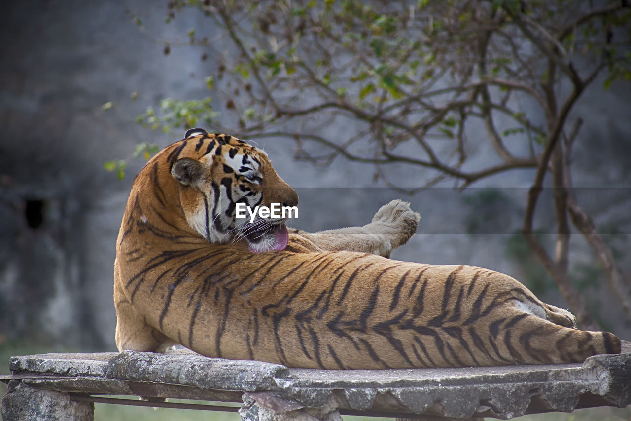 feline, animal, animal themes, big cat, tiger, cat, animal wildlife, mammal, animals in the wild, carnivora, vertebrate, relaxation, tree, no people, focus on foreground, day, zoo, nature, resting, outdoors, whisker, undomesticated cat