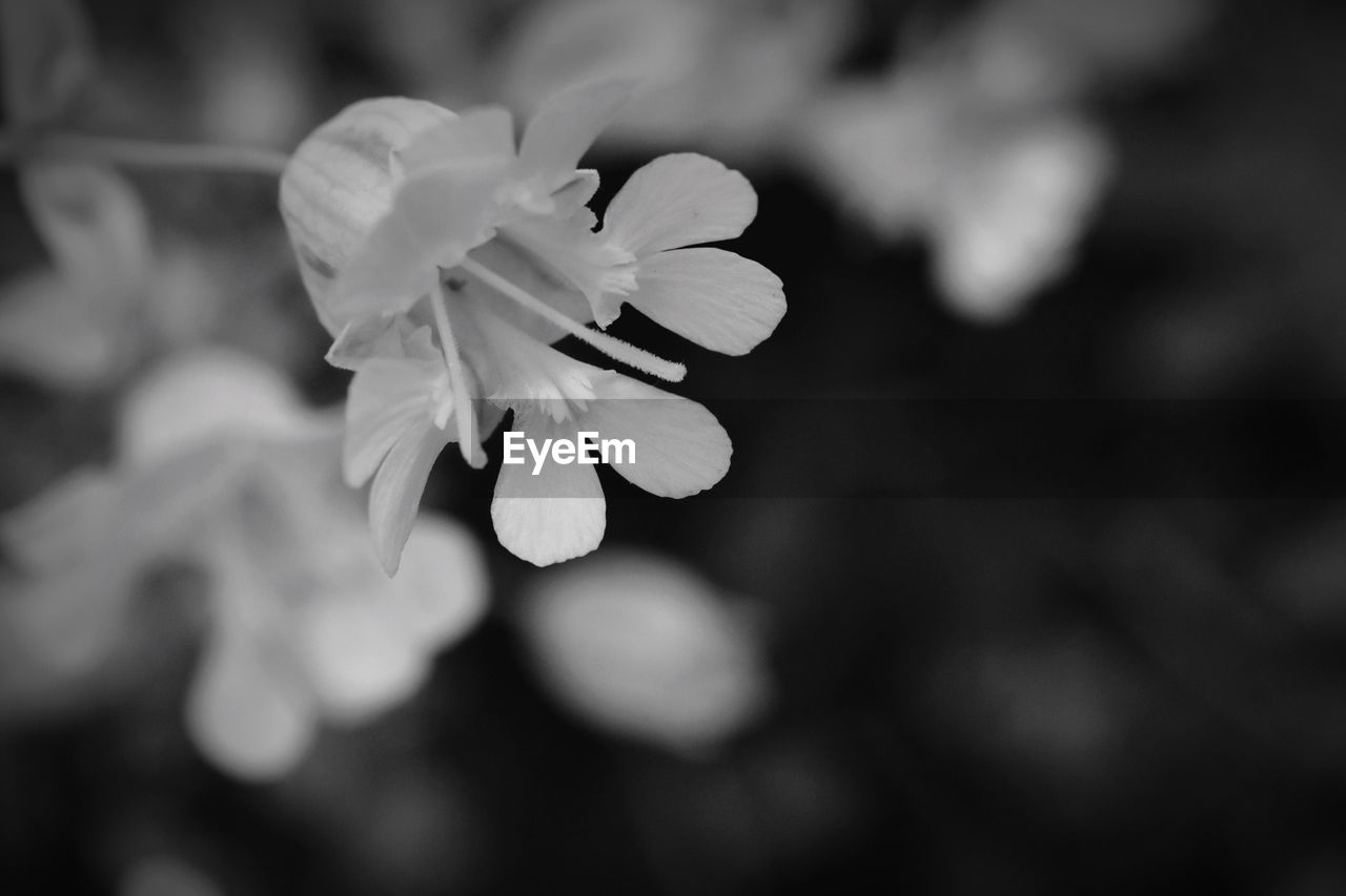 flower, flowering plant, fragility, vulnerability, freshness, petal, beauty in nature, close-up, plant, growth, flower head, inflorescence, selective focus, focus on foreground, nature, no people, day, outdoors, white color, botany, spring