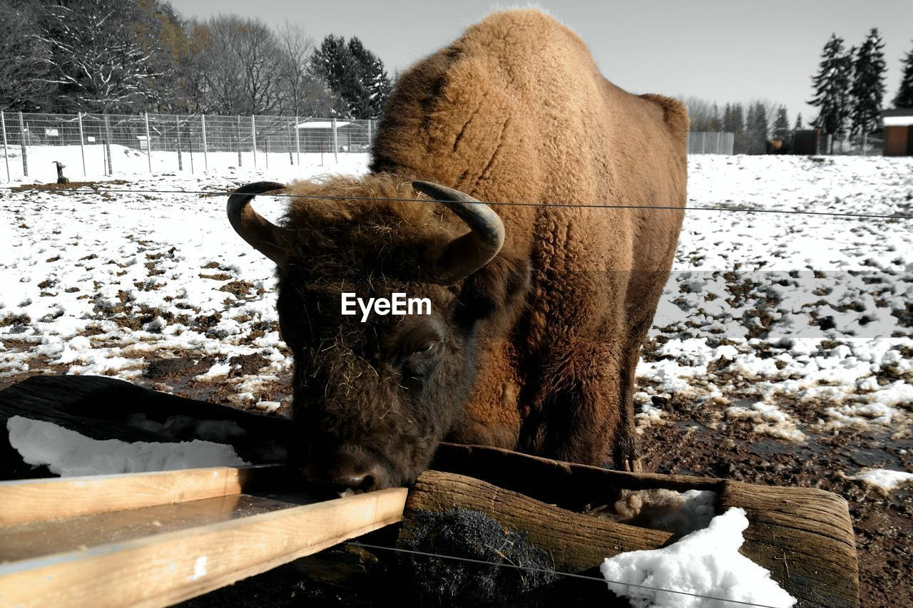 American Bison Drinking Water From Trough On Field During Winter
