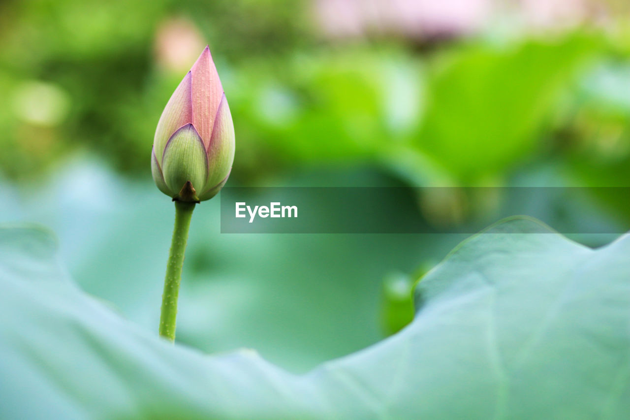 Close-Up Of Lotus Bud