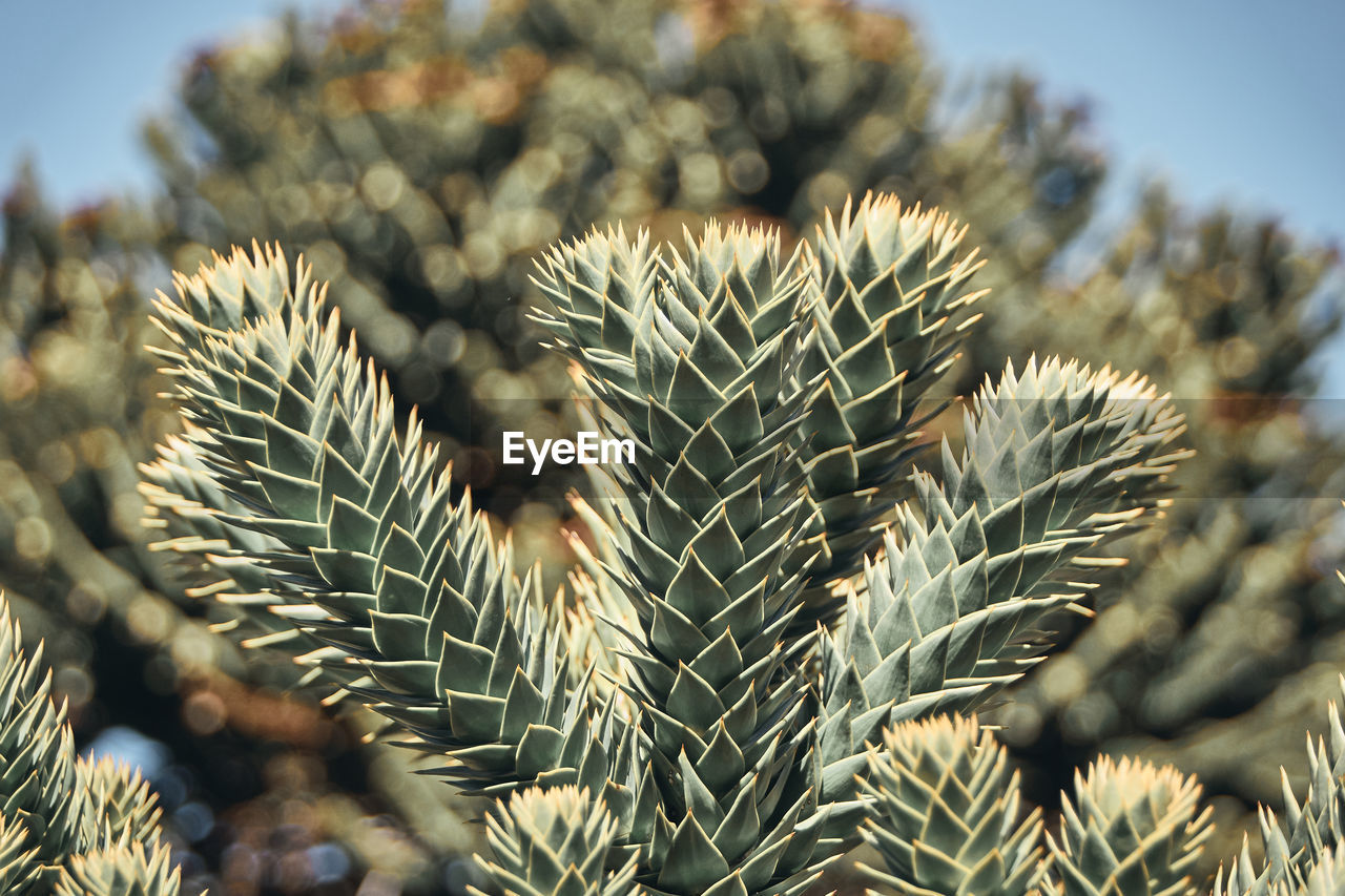 plant, growth, close-up, focus on foreground, day, no people, beauty in nature, nature, succulent plant, green color, cactus, sharp, spiked, selective focus, tranquility, outdoors, thorn, sunlight, field, natural pattern, coniferous tree, pine tree, needle - plant part, spiky