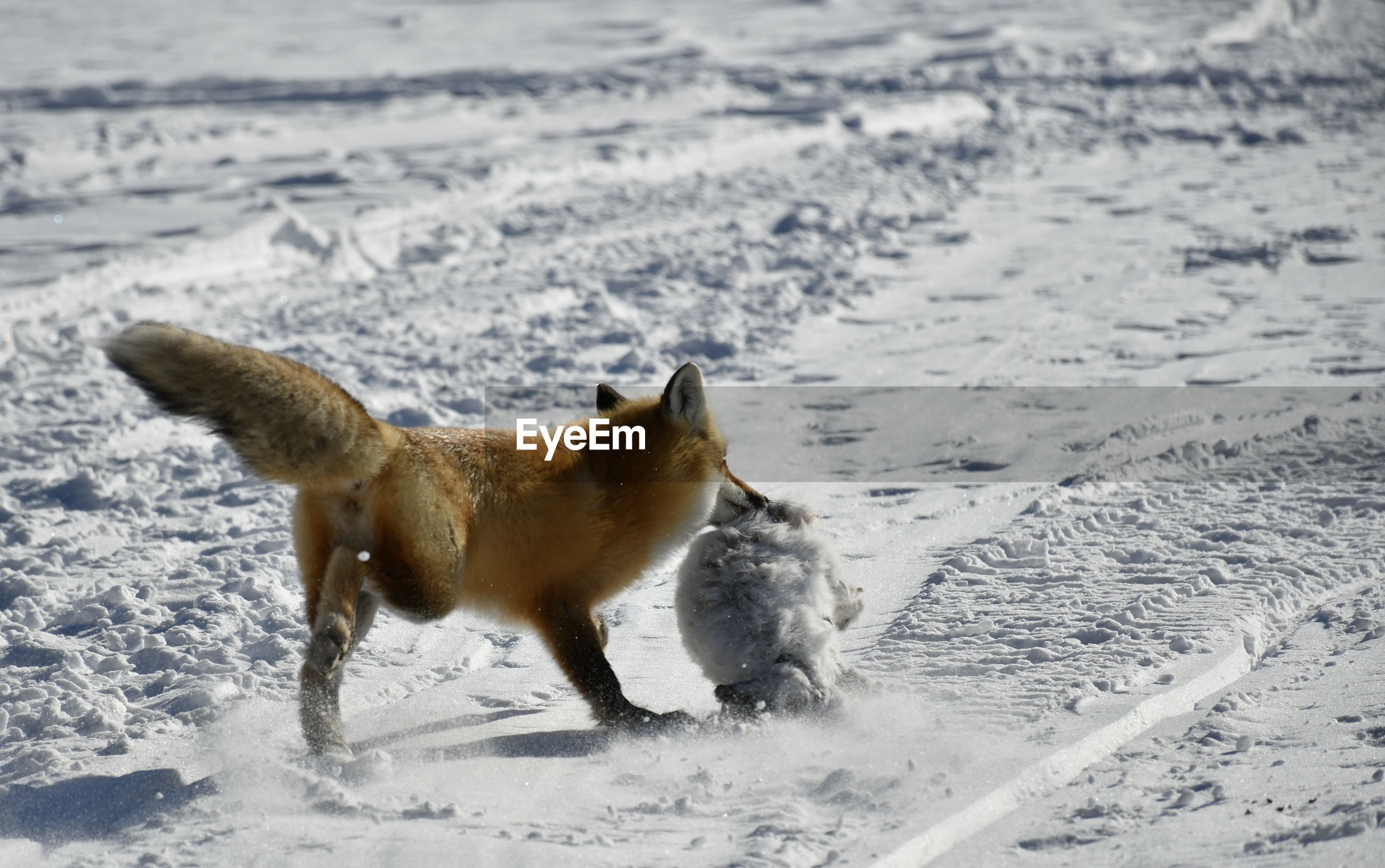 VIEW OF DOG RUNNING ON SNOW