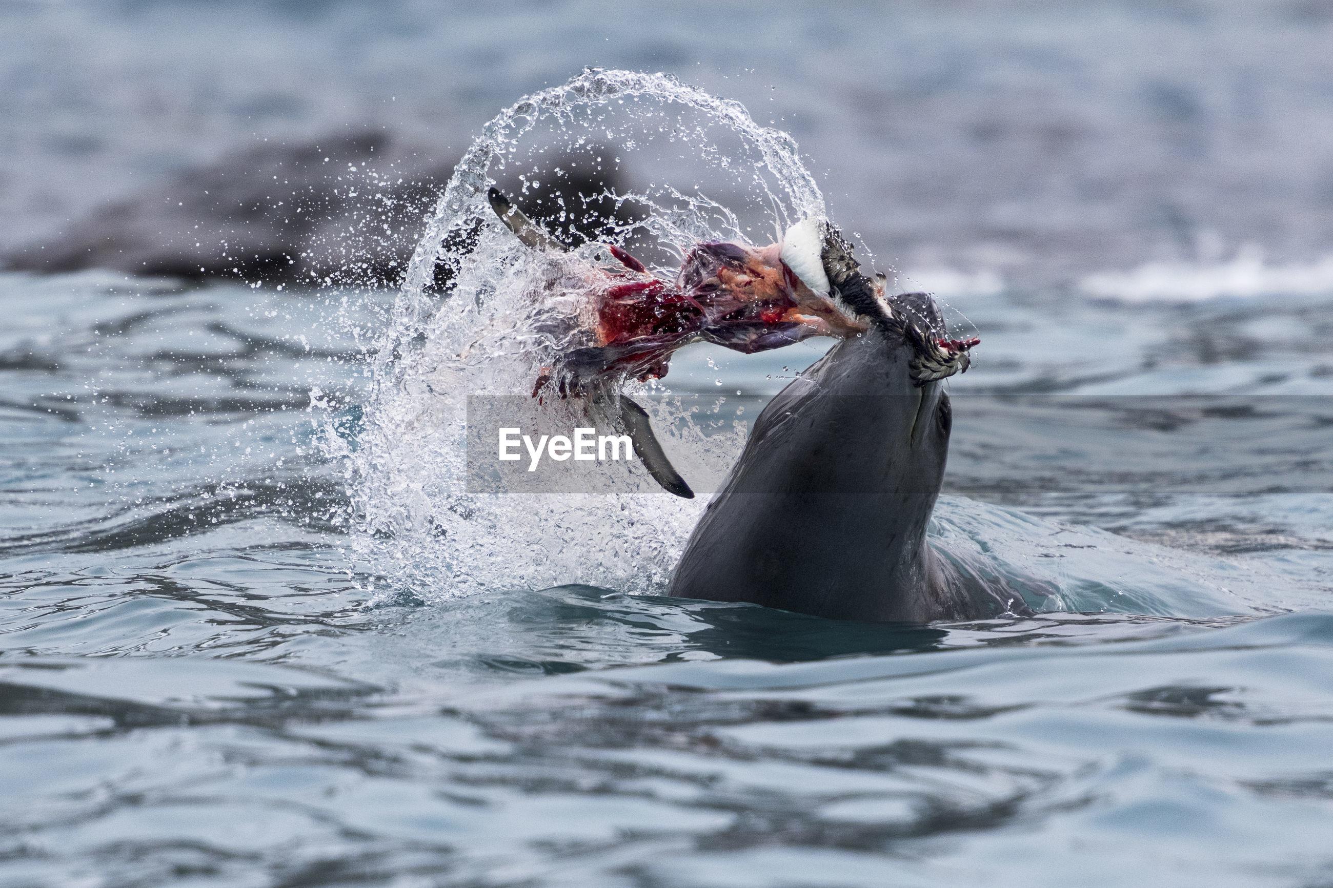 Elephant island, south shetlands, antarctica. leopard seal eating a penguin.