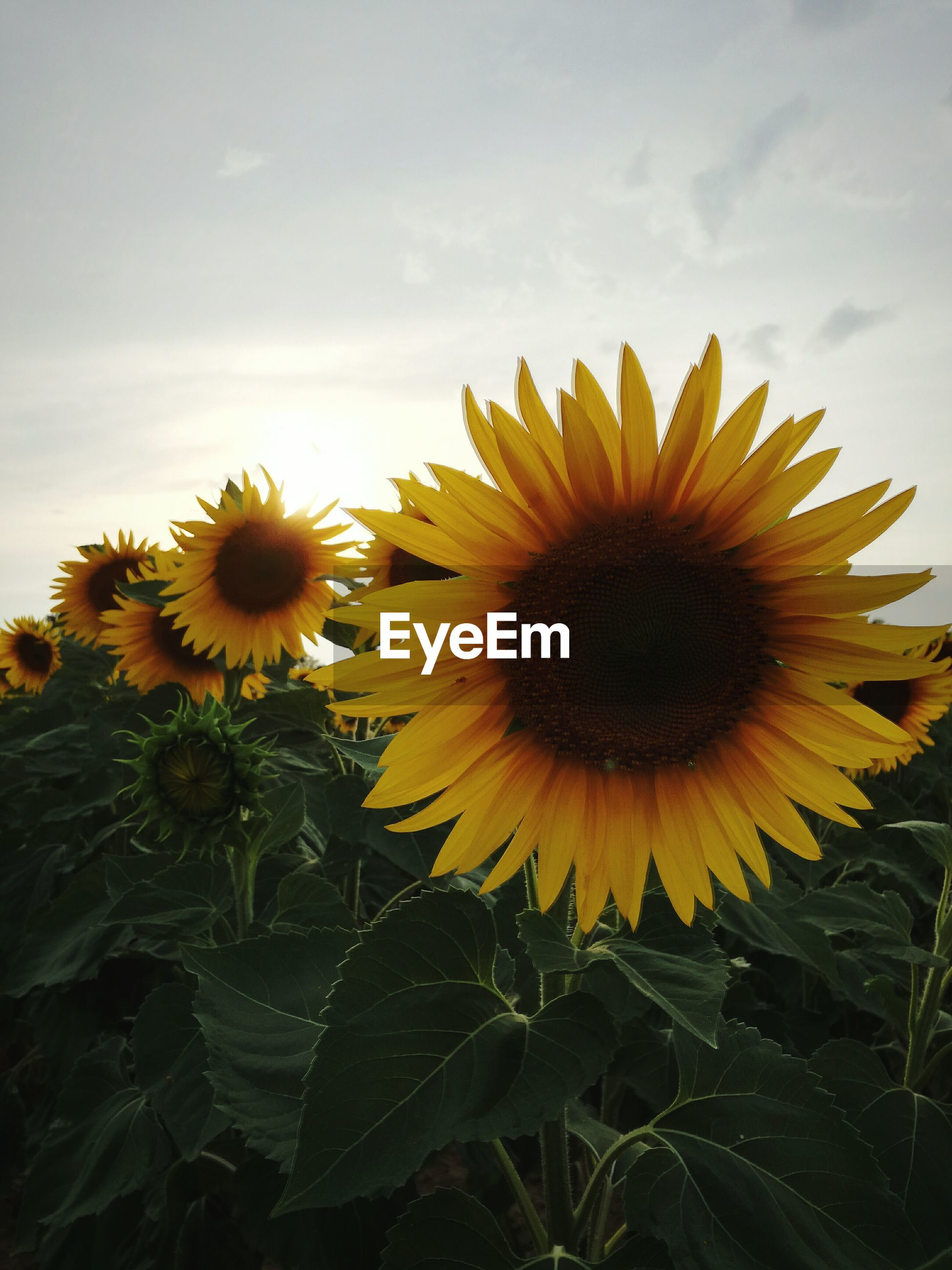 flower, yellow, freshness, fragility, sunflower, petal, flower head, growth, beauty in nature, blooming, pollen, plant, nature, sky, close-up, in bloom, day, no people, stem, outdoors, focus on foreground, cloud - sky, botany, tranquility, blossom, cloud, green color, growing