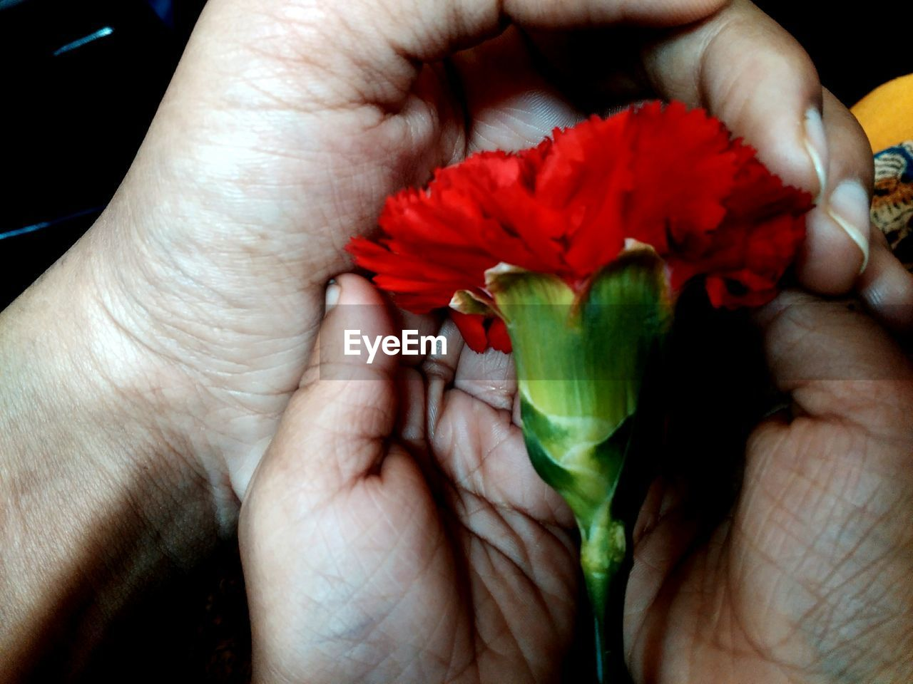 flower, human hand, petal, human body part, close-up, fragility, flower head, beauty in nature, holding, rose - flower, one person, freshness, red, real people, nature, indoors, day, people
