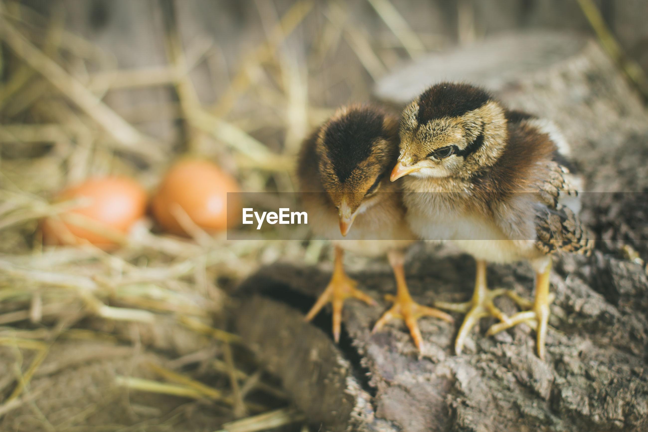 Close-up of chicks at farm