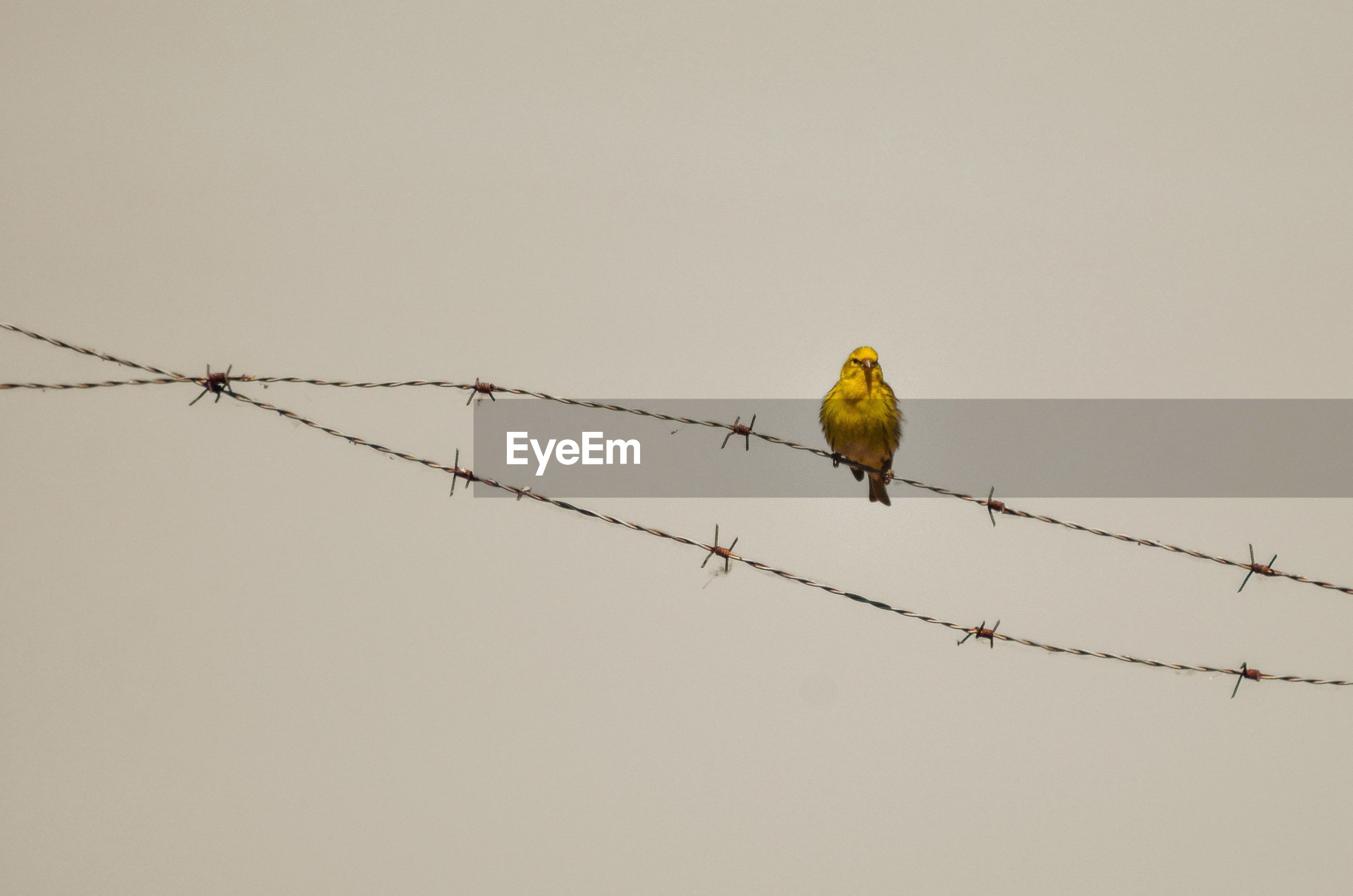 Low angle view of bird perching on barbed wire against clear sky