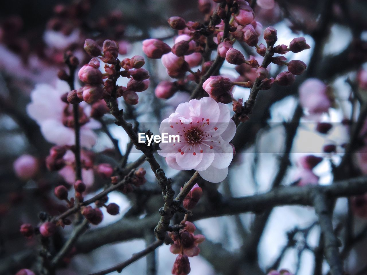 flower, fragility, growth, tree, beauty in nature, springtime, blossom, branch, freshness, botany, nature, twig, petal, apple blossom, close-up, pink color, flower head, plum blossom, focus on foreground, day, no people, selective focus, outdoors, pollen, stamen, blooming