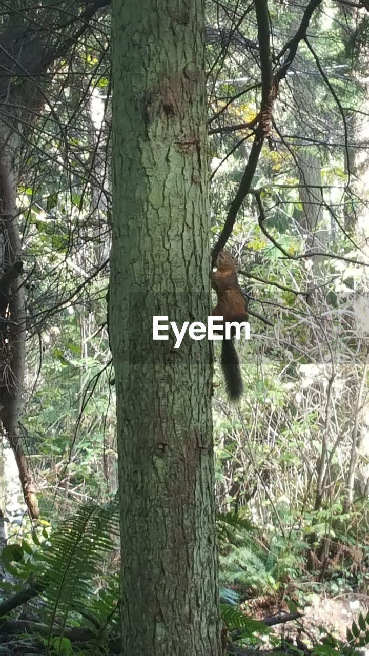 tree, plant, tree trunk, trunk, forest, land, one animal, nature, mammal, day, outdoors, growth, vertebrate, animal wildlife, animals in the wild, no people, branch