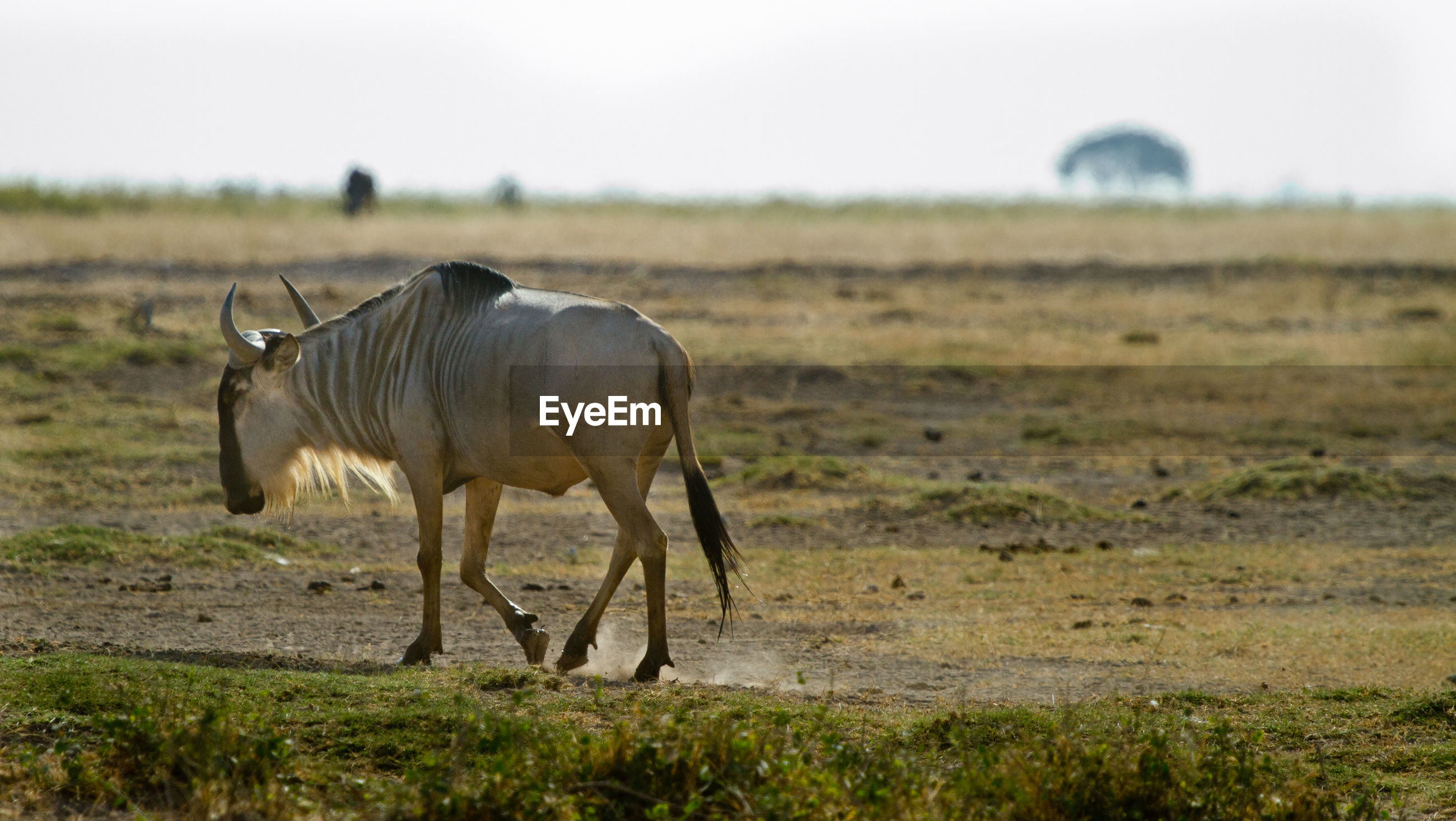 A wildebeest walking along a dusty field