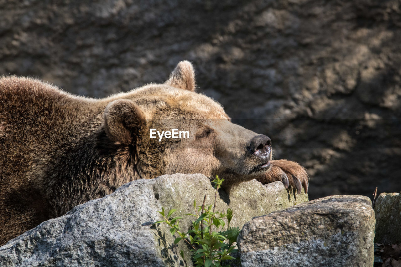 animal wildlife, animal themes, animal, animals in the wild, mammal, rock, solid, rock - object, one animal, vertebrate, no people, day, nature, focus on foreground, bear, outdoors, relaxation, animals in captivity, zoo
