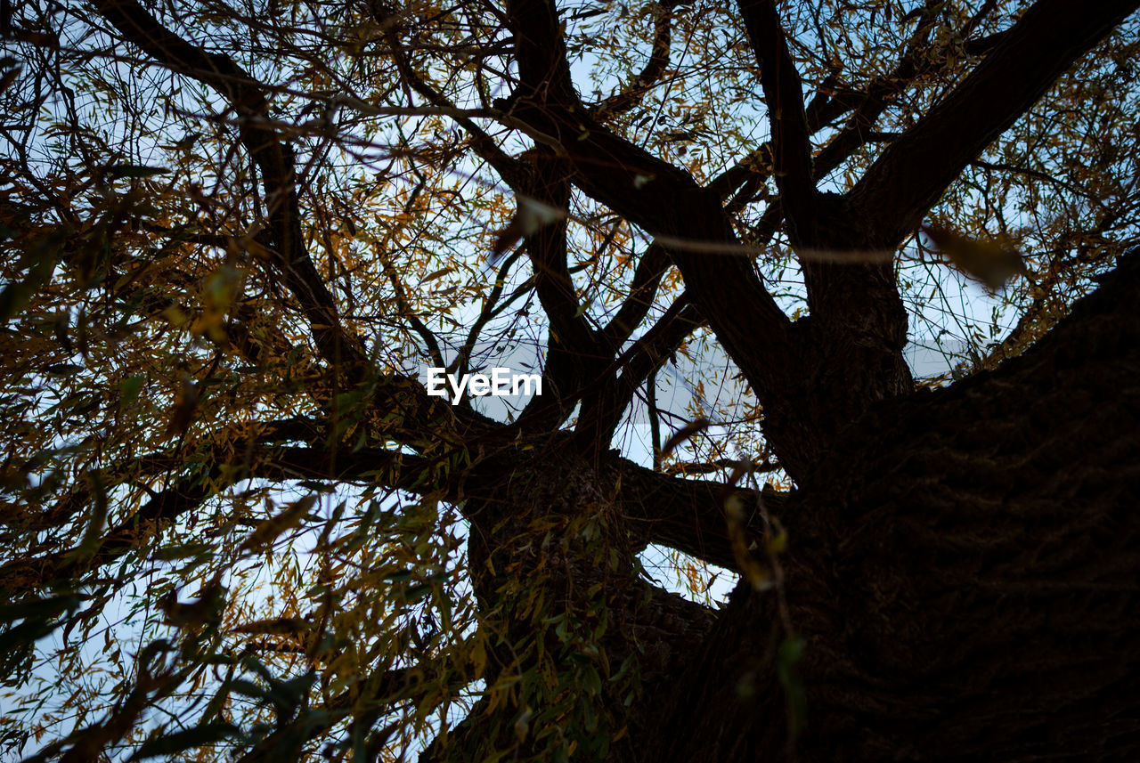 tree, plant, tree trunk, trunk, nature, low angle view, branch, no people, day, tranquility, beauty in nature, growth, forest, outdoors, sky, land, scenics - nature, bark, tranquil scene, close-up, directly below, tree canopy