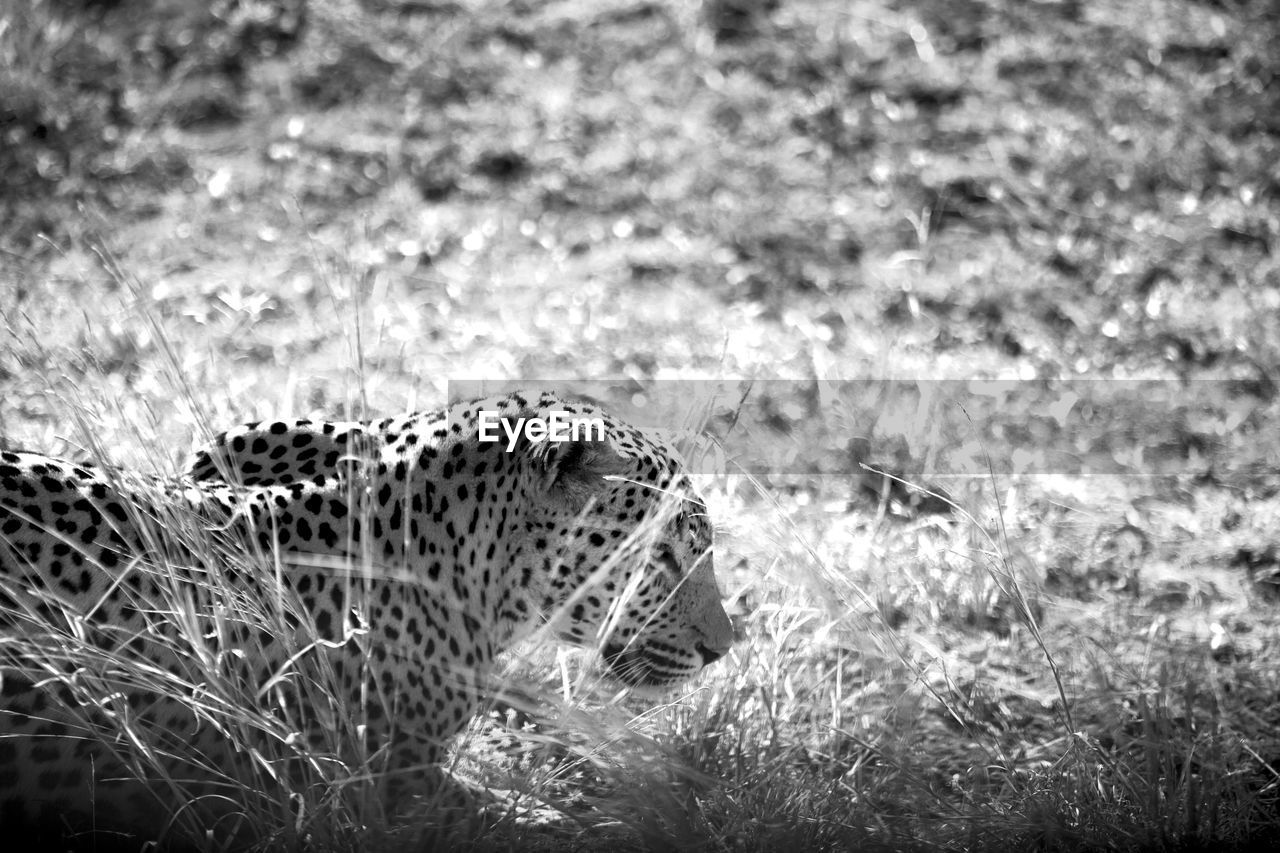 animal, animals in the wild, one animal, animal themes, animal wildlife, field, land, no people, nature, grass, vertebrate, day, plant, focus on foreground, mammal, outdoors, animal body part, selective focus, close-up, side view, animal head
