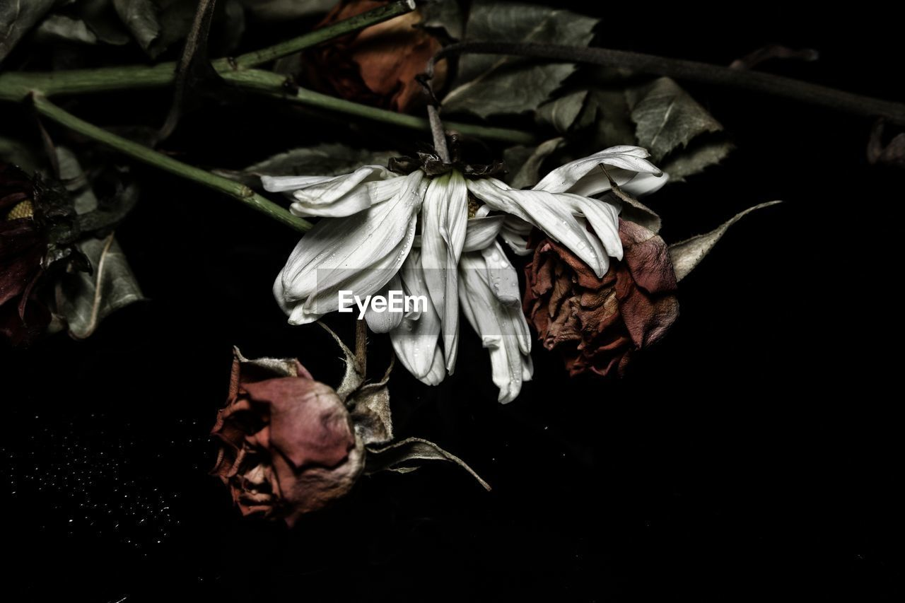 close-up, indoors, flower, flowering plant, fragility, nature, vulnerability, no people, leaf, beauty in nature, dry, plant part, wilted plant, plant, petal, freshness, studio shot, black background, leaves, flower head, dried