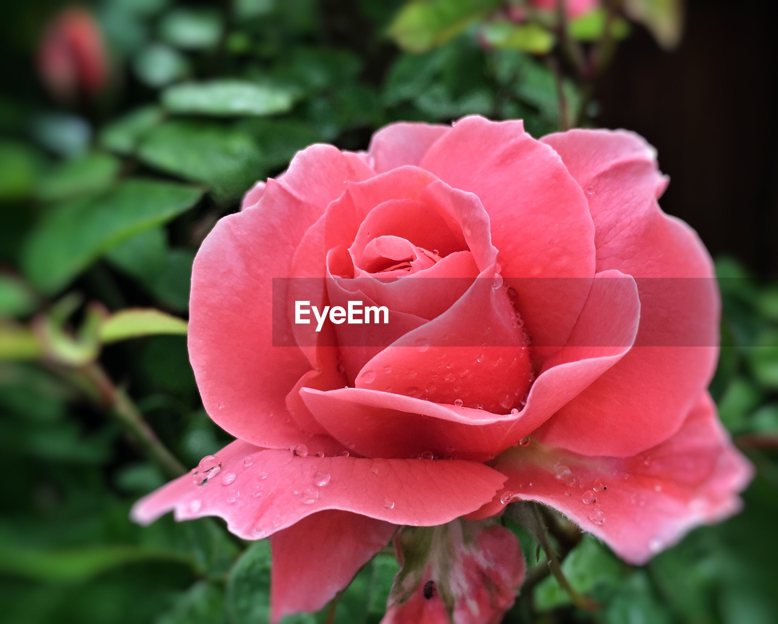 flower, petal, freshness, fragility, flower head, rose - flower, close-up, beauty in nature, growth, single flower, drop, focus on foreground, blooming, wet, water, nature, rose, pink color, red, plant