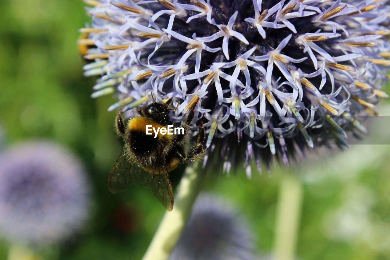 flower, animal themes, insect, one animal, bee, animals in the wild, nature, honey bee, pollination, close-up, day, fragility, no people, beauty in nature, bumblebee, petal, animal wildlife, outdoors, growth, focus on foreground, plant, flower head, freshness, buzzing, blooming