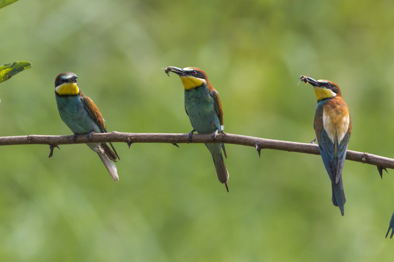 animal wildlife, bird, group of animals, animal themes, perching, vertebrate, animals in the wild, animal, two animals, branch, focus on foreground, no people, day, tree, green color, beauty in nature, parrot, nature, plant, outdoors