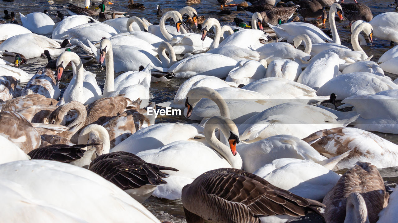 group of animals, vertebrate, animal, animal themes, large group of animals, bird, animal wildlife, animals in the wild, day, flock of birds, white color, nature, high angle view, no people, outdoors, sunlight, abundance, cold temperature