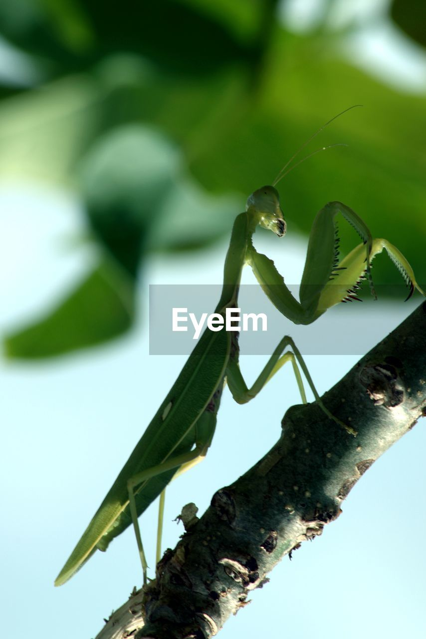 plant, growth, green color, nature, close-up, no people, leaf, plant part, day, invertebrate, insect, animal, animal wildlife, animal themes, focus on foreground, animals in the wild, one animal, outdoors, praying mantis, beauty in nature