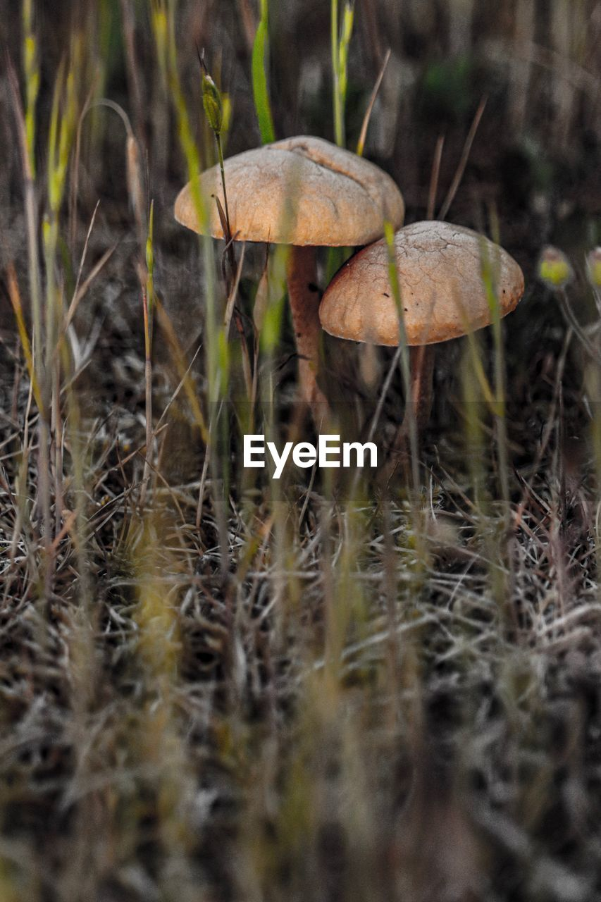 mushroom, fungus, plant, vegetable, growth, food, land, toadstool, close-up, nature, field, no people, selective focus, forest, day, edible mushroom, food and drink, grass, fragility, tree, outdoors, surface level