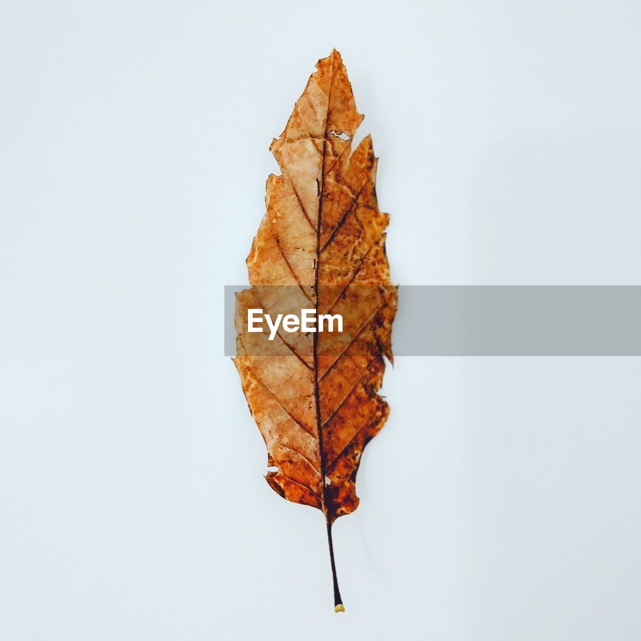 autumn, white background, change, studio shot, plant part, leaf, close-up, dry, nature, no people, leaf vein, cut out, indoors, natural pattern, copy space, orange color, directly above, still life, brown, maple leaf, fall, natural condition