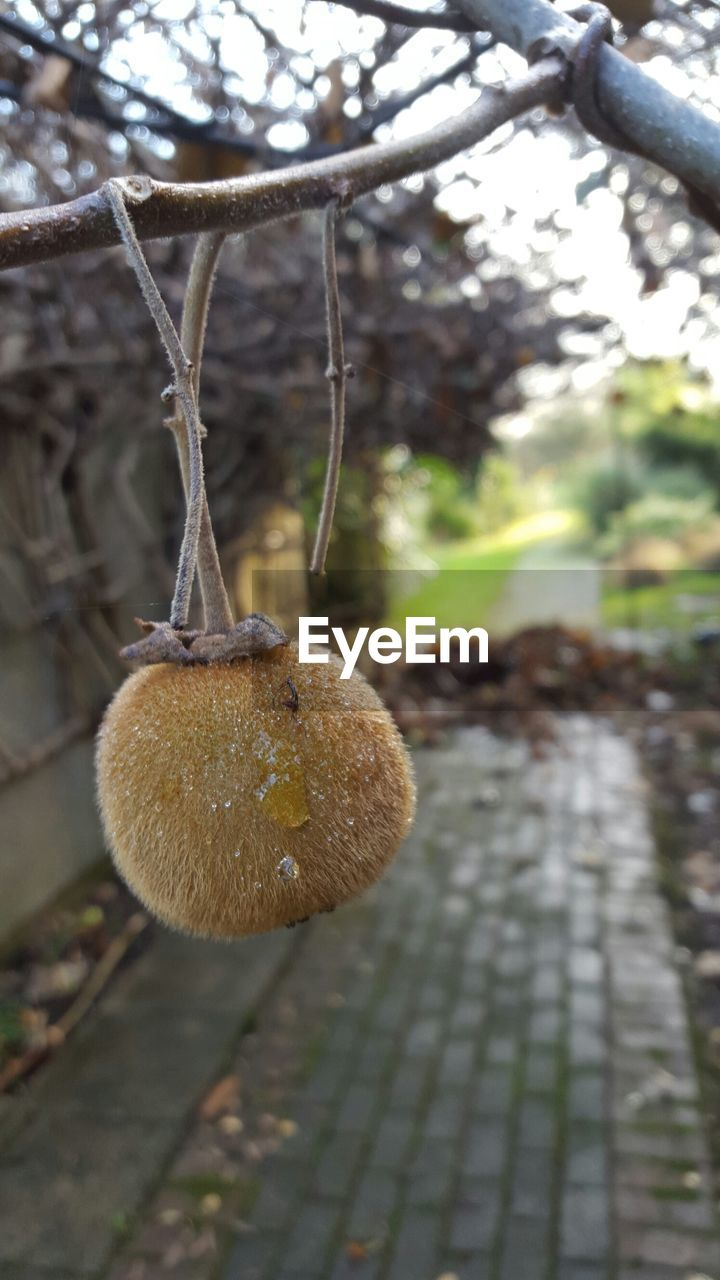 Close-up of dry fruit on tree
