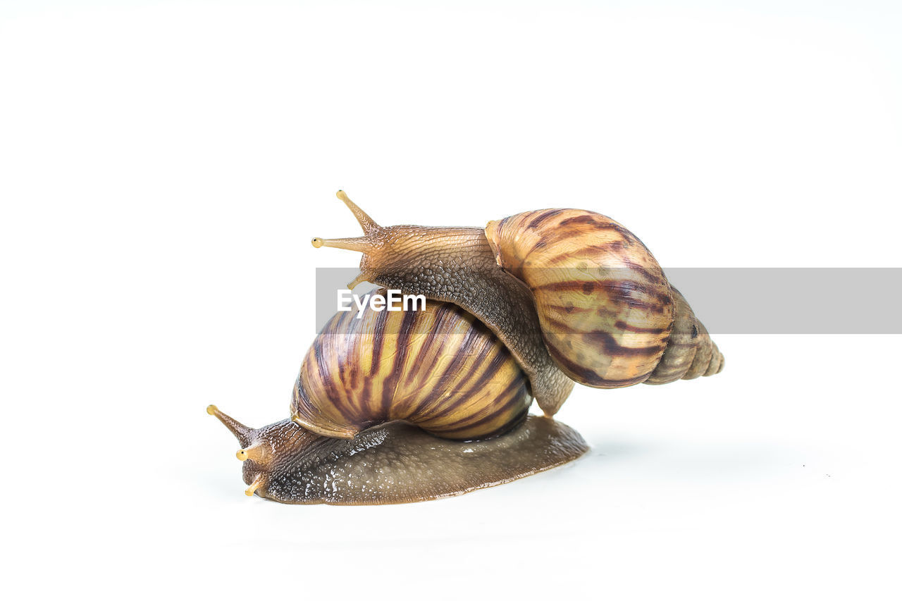 studio shot, animal, white background, animal themes, shell, animal wildlife, gastropod, snail, close-up, mollusk, animal shell, invertebrate, animals in the wild, no people, one animal, indoors, copy space, cut out