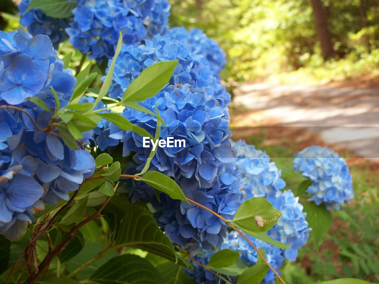 flowering plant, plant, flower, beauty in nature, growth, blue, leaf, plant part, vulnerability, fragility, freshness, close-up, petal, nature, day, no people, inflorescence, flower head, hydrangea, purple, outdoors, springtime, bunch of flowers