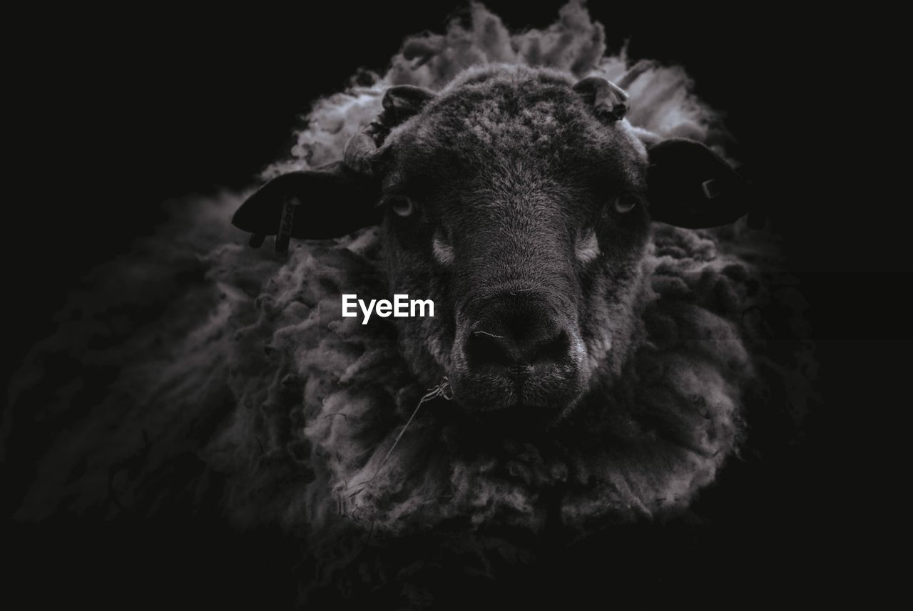 Close-Up Portrait Of Sheep On Black Background