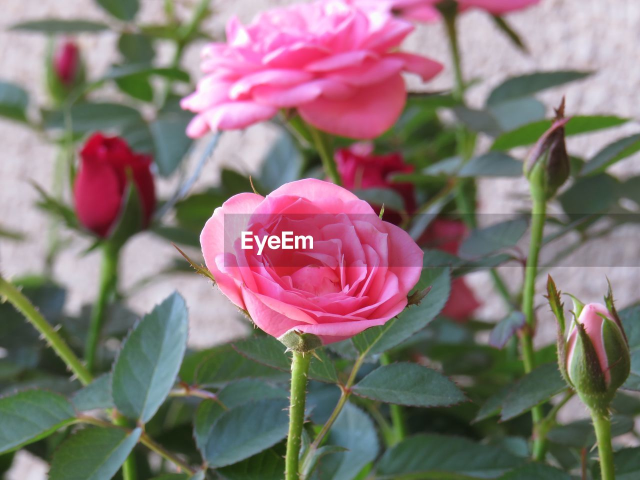 flower, petal, pink color, growth, fragility, nature, rose - flower, beauty in nature, focus on foreground, flower head, leaf, plant, no people, close-up, freshness, outdoors, blooming, day