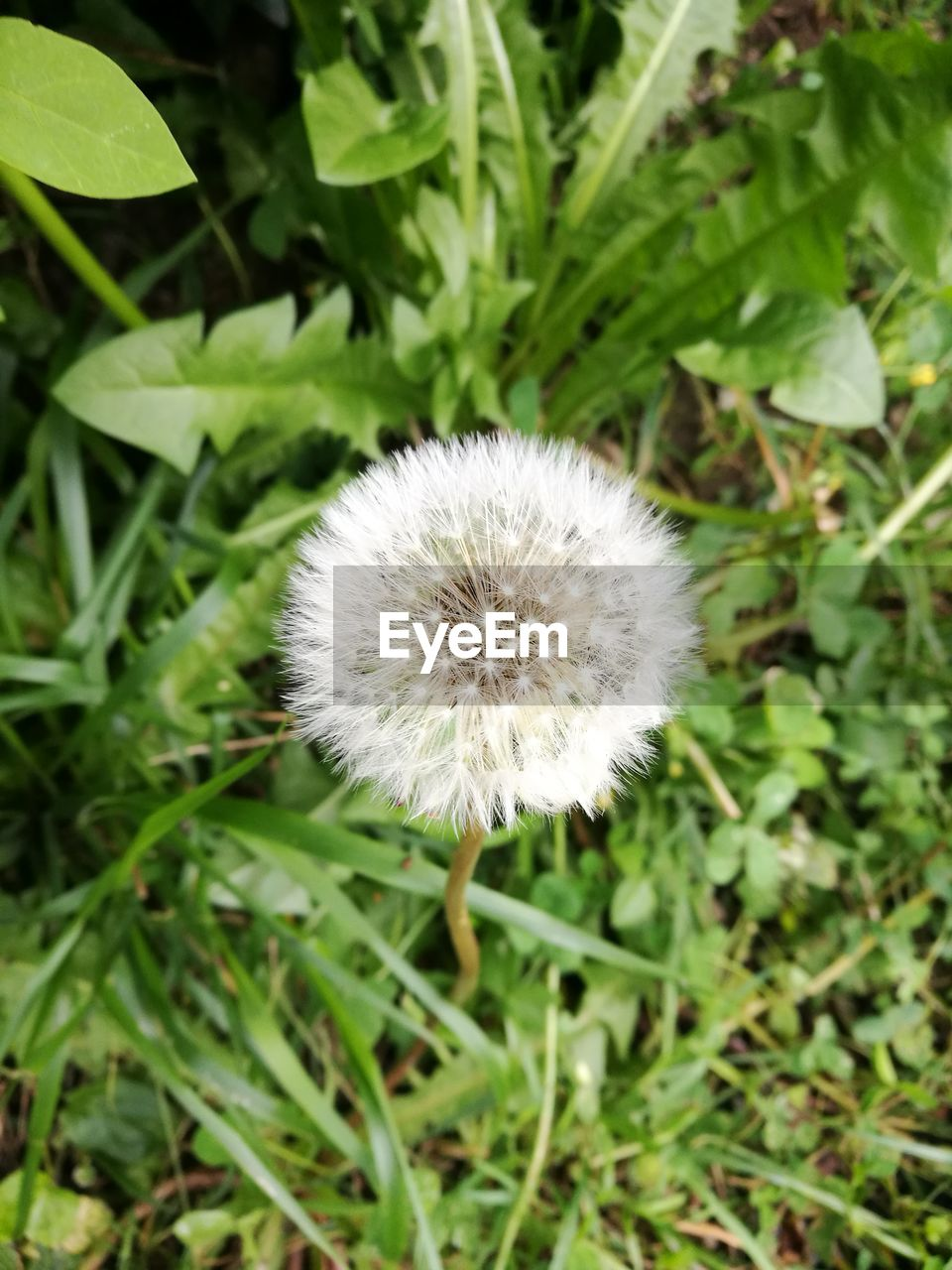flower, fragility, growth, dandelion, nature, plant, beauty in nature, white color, freshness, flower head, focus on foreground, close-up, green color, uncultivated, outdoors, day, no people, grass