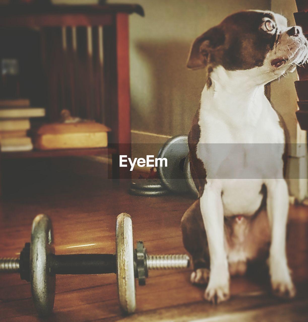 dog, pets, one animal, domestic animals, animal themes, indoors, mammal, sitting, hardwood floor, no people, close-up, day
