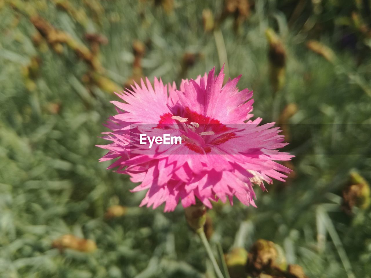 flower, growth, nature, petal, flower head, fragility, pink color, beauty in nature, plant, close-up, focus on foreground, day, no people, freshness, outdoors, blooming