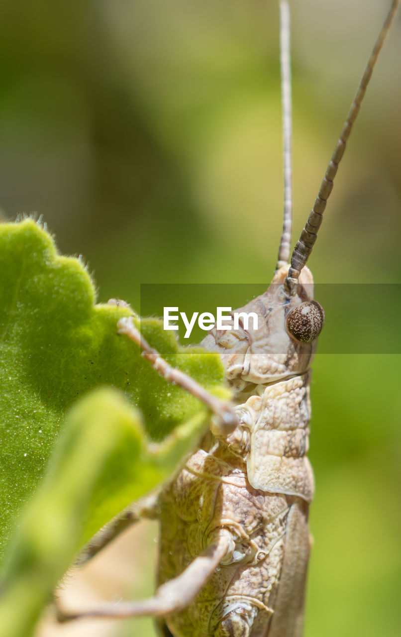 animal wildlife, animals in the wild, invertebrate, animal, animal themes, one animal, insect, close-up, green color, animal body part, nature, day, animal antenna, selective focus, plant, no people, grasshopper, focus on foreground, outdoors, zoology, animal eye, butterfly - insect