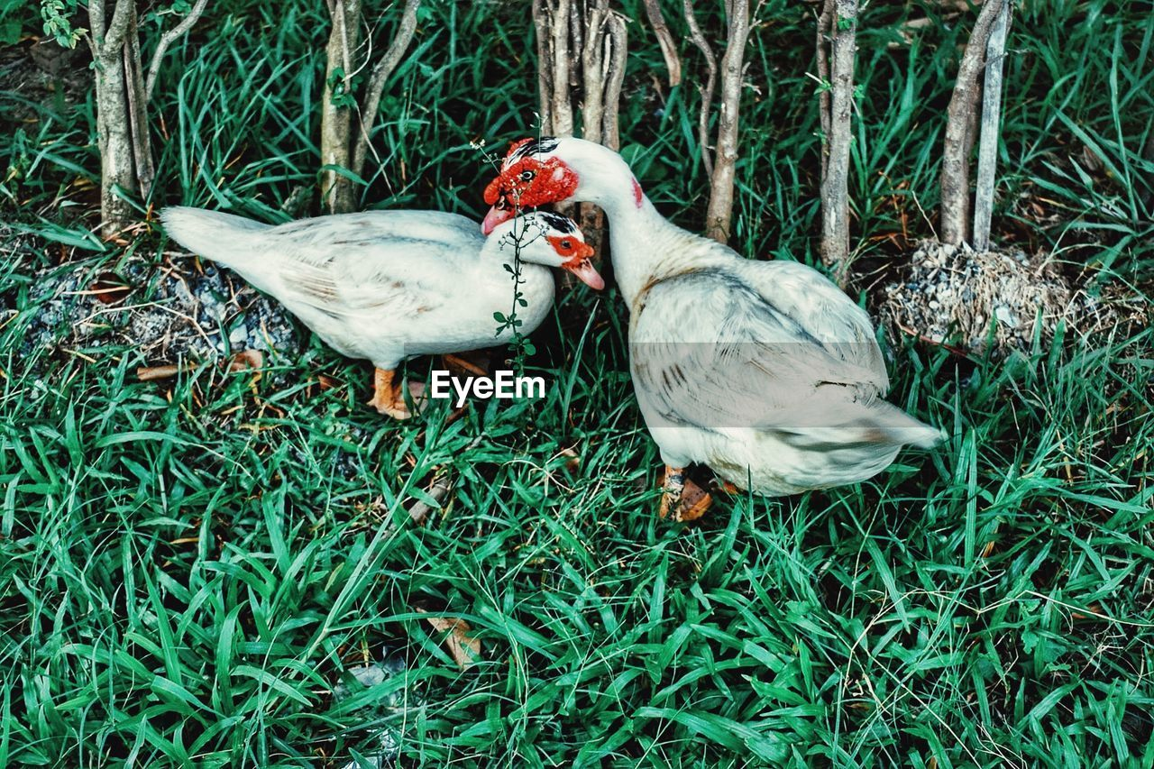 HIGH ANGLE VIEW OF DUCKS ON GRASS