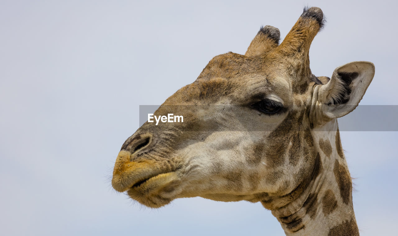 animal, mammal, animal themes, one animal, sky, animal wildlife, vertebrate, clear sky, domestic animals, animal body part, no people, animal head, giraffe, close-up, animals in the wild, copy space, day, low angle view, nature, pets, herbivorous, animal neck, animal nose