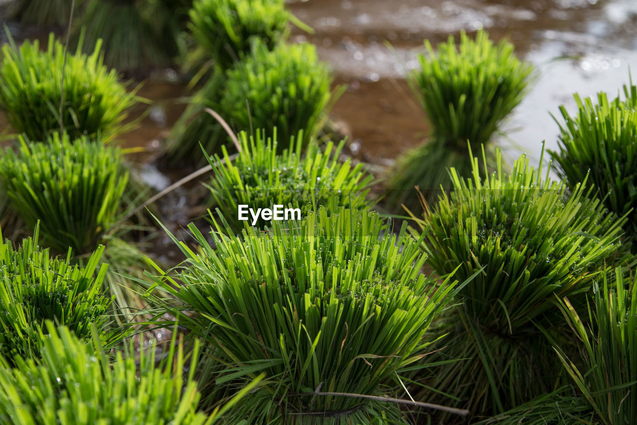 green color, growth, plant, nature, no people, beauty in nature, outdoors, high angle view, day, grass, freshness, close-up, water, fragility